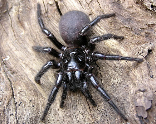 Funnel Web Spider Syndrome